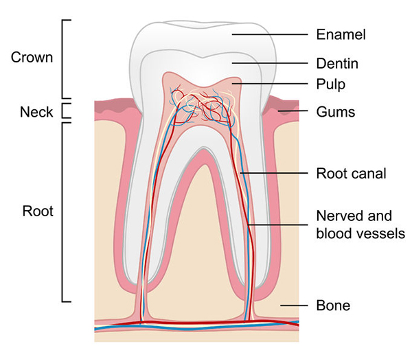 a diagram showing the anotomy of a human tooth